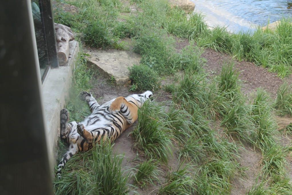 tigers zsl